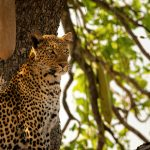 Leopardo close up, Luangwa